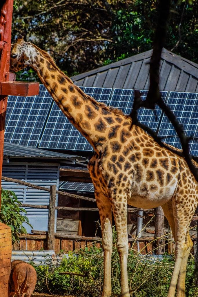 It's World giraffe Day - African Fund for Endangered